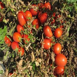 عکس بذر سبزیجاتبذر گوجه فرنگی هیبرید ( تمپلر )  Templar