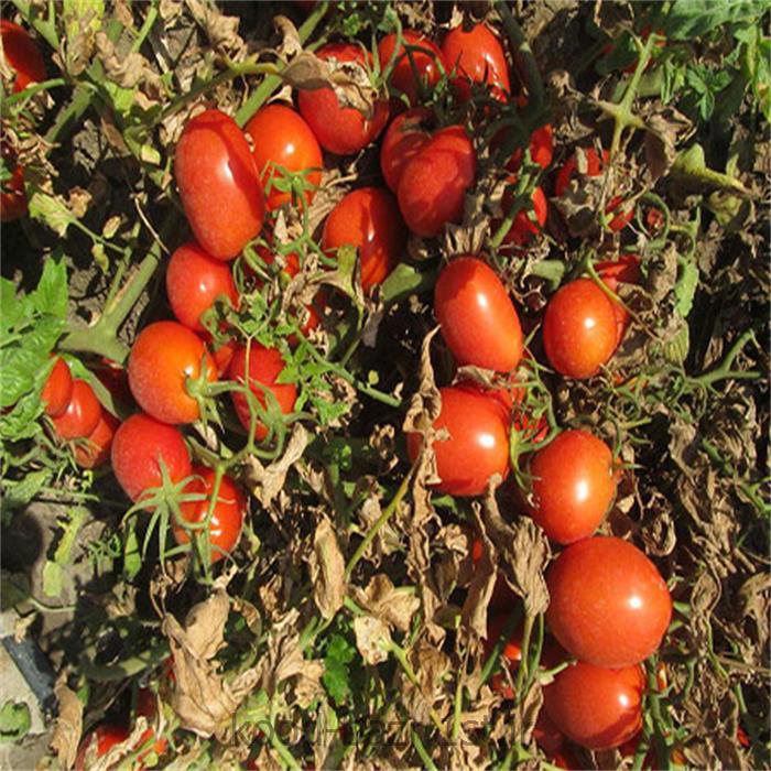 بذر گوجه فرنگی هیبرید ( تمپلر )  Templar