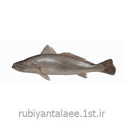 ماهی شوریده محلی سایز s