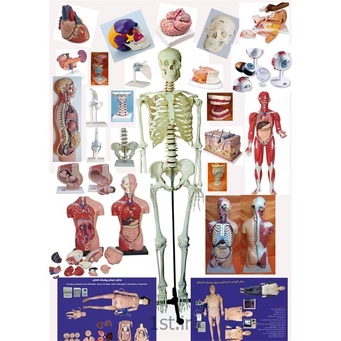 عکس سایر لوازم اداری و آموزشیمولاژ (مانکن - مدل آناتومی) آموزشی انسان و حیوان