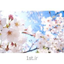 اسانس  شکوفه بهاری مناسب صابون