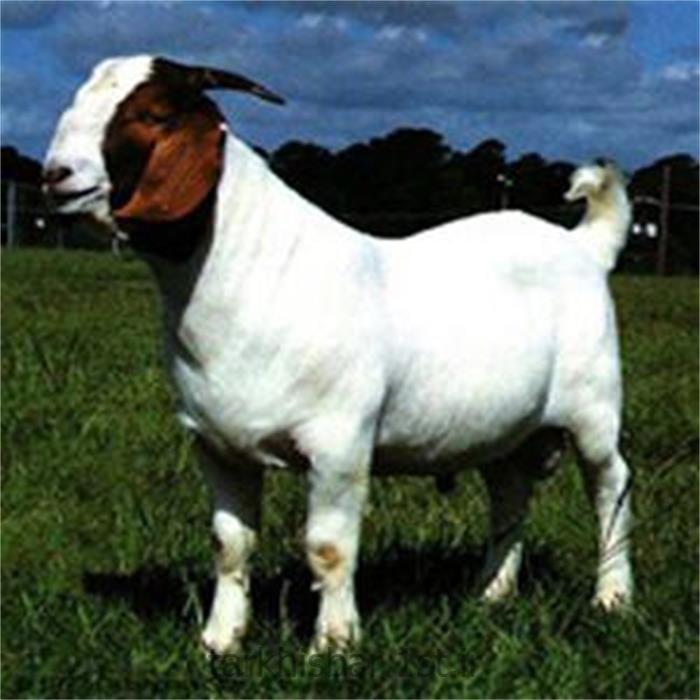 صادرات گوسفند زنده