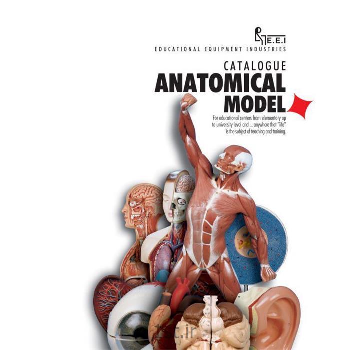 عکس علوم پزشکیمدل نیم تنه  انسان با نمایش ماهیچه ها
