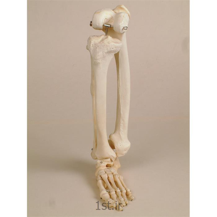 عکس علوم پزشکیمدل اسکلت PVC پا و اتصالات به اندازه طبیعی با استحکام بالا