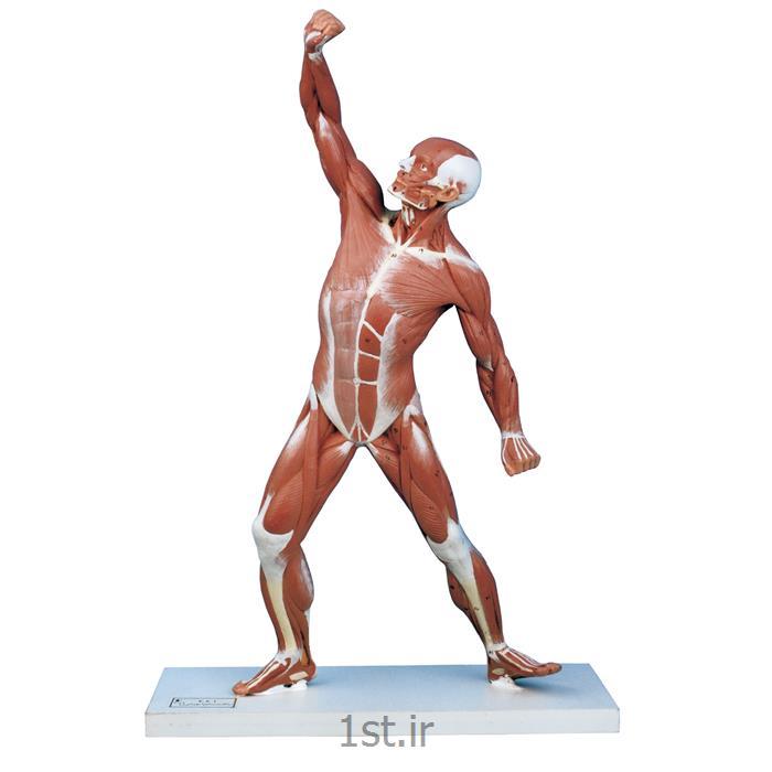 عکس علوم پزشکیمدل آناتومی عضلات