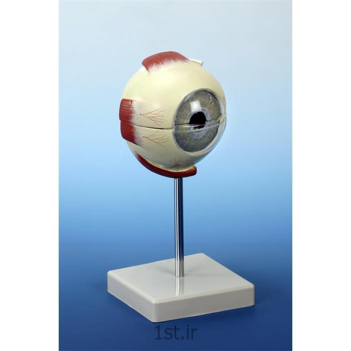 عکس علوم پزشکیمدل چشم PVC با ماهیچه و بدون ماهیچه