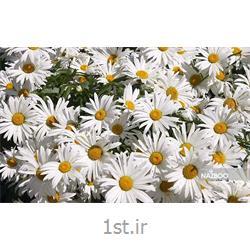 بذر گل مارگریت خانگی سیدزلند