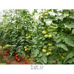 عکس بذر سبزیجاتبذر گوجه فرنگی گرد بلوکی سی اچ 1414 سیدزلند