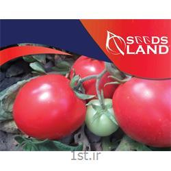 بذر گوجه فرنگی سی اچ 1414 سیدزلند