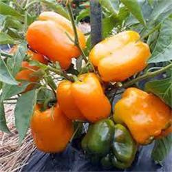 عکس فلفل دلمهبذر فلفل دلمه نارنجی گلخانه ای 5345 وستلند