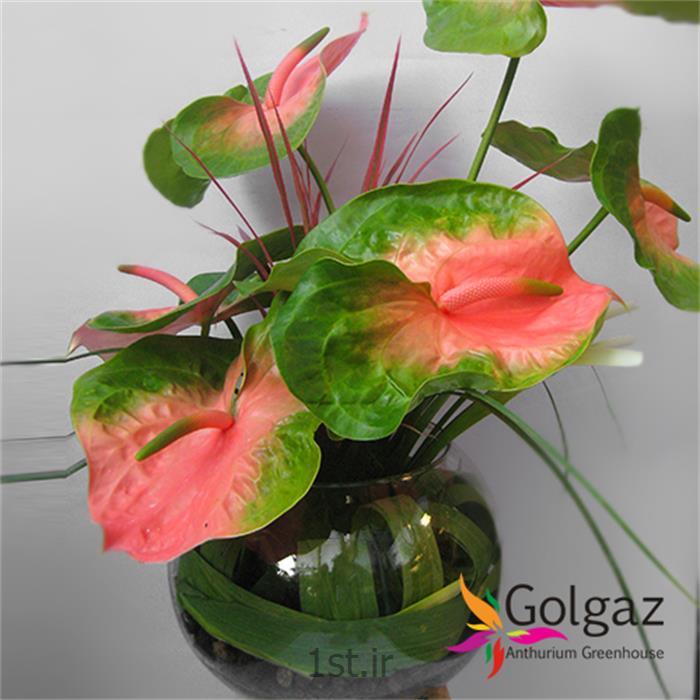 عکس شاخه گل تازهتنگ شیشه ای،آنتوریوم مدل 2764
