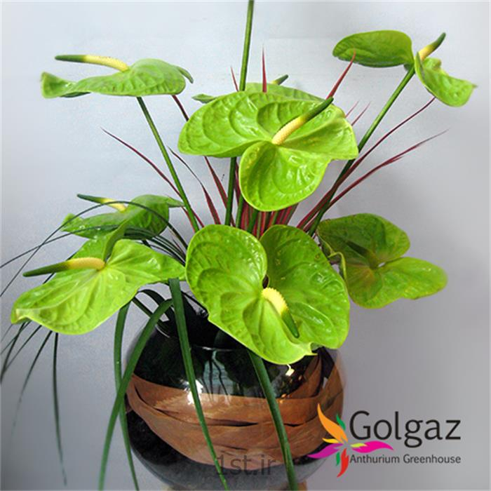 عکس شاخه گل تازهتنگ شیشه ای،آنتوریوم مدل 2765