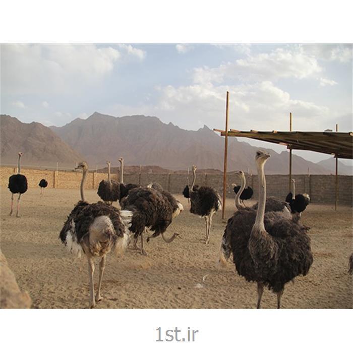 مکمل شتر مرغ یک درصد دوره رشد