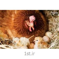 عکس دام و طیورمکمل مرغ مادر 5 درصد ویژه راس (دوره تولید)