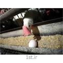 استارتر مرغ تخمگذار