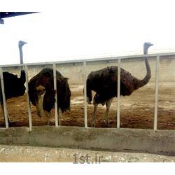 مکمل شتر مرغ یک درصد دوره پایانی
