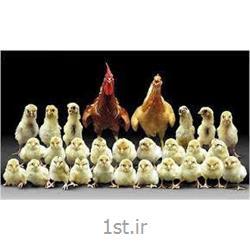 کنسانتره مرغ مادر 5 درصد دوره تولید